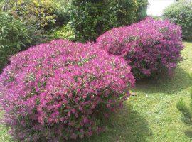 plantacion de arbustivas