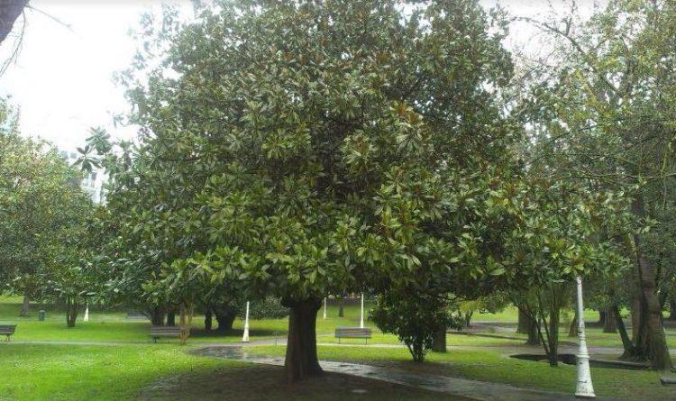 plantacion de magnolium grandiflora