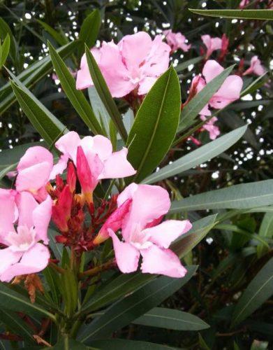 flor rosa para jardin