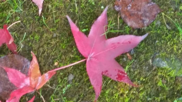 hojas del Liquidambar