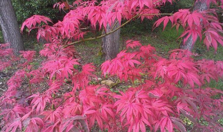 plantacion de arbol ornamental