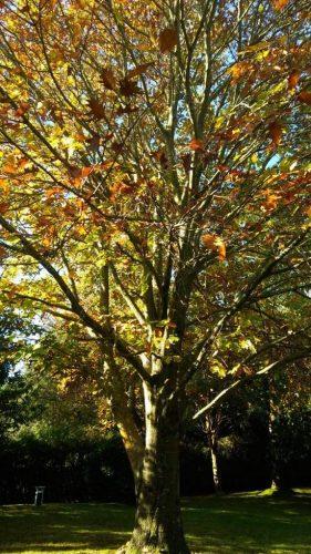 roble americano arbol otoño