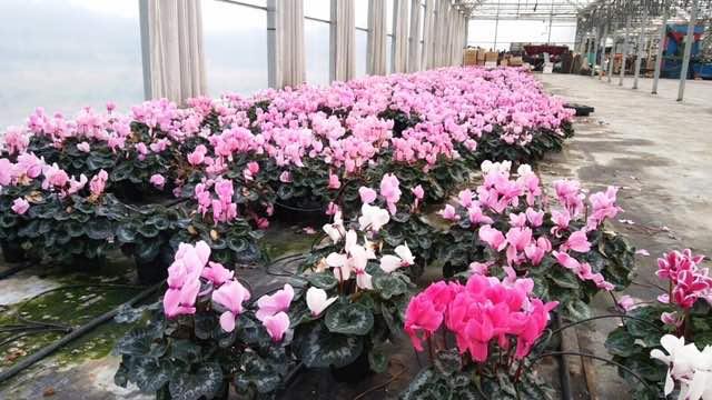 cyclamen flor de invierno