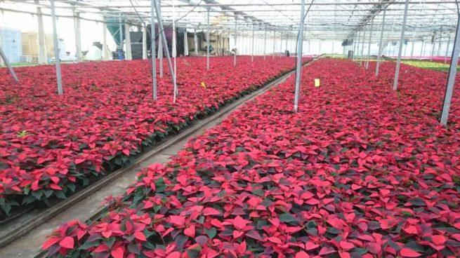 flor de navidad planta de interior