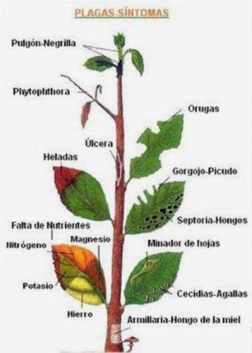 enfermedades plantas sintomas