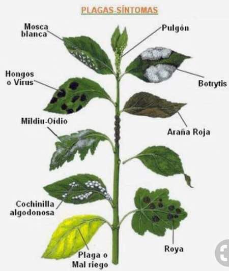 enfermedades y plagas plantas