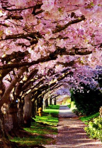 tunel de arboles sakura en japon