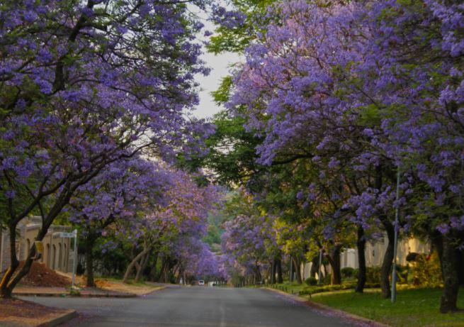 paseo de jacarandas (johannesburgo sudafrica)