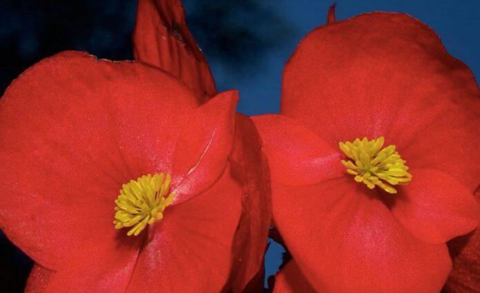 amapolas rojas platancion vizkaya