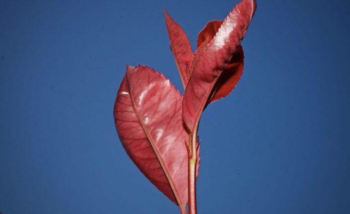 amapolas y echinaceas plantacion