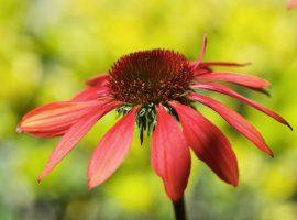 plantacion de echinaceas y emapolas y mantenimiento