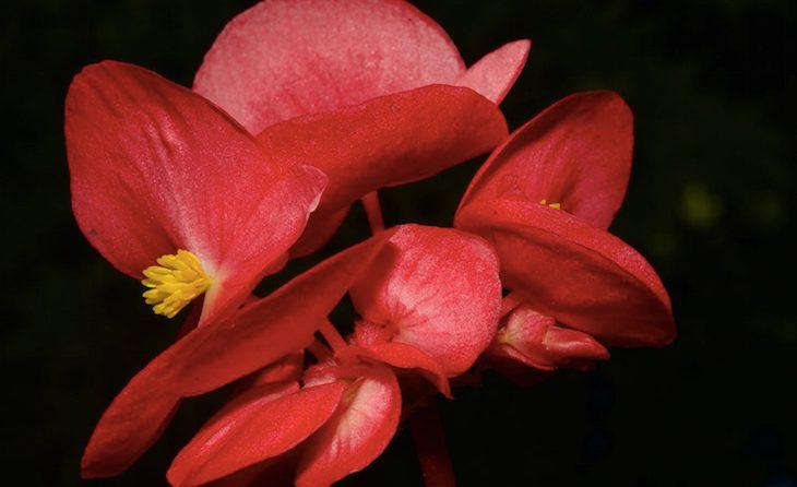 floracion amapolas