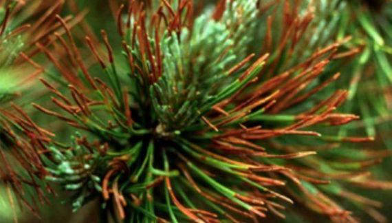 hongo pinos euskadi