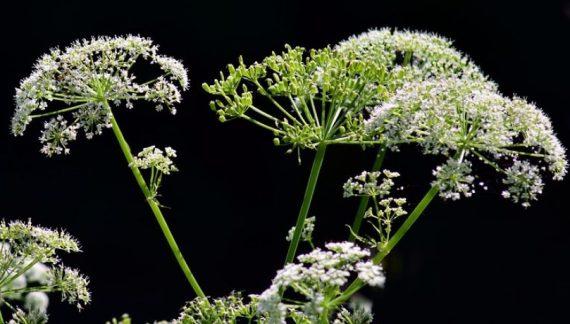 plantas toxicas del pais vasco