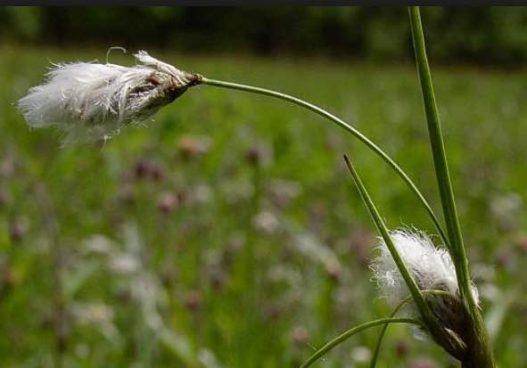 hierba algodonera peligro extincion plantas