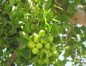 hojas del Ginkgo Bilob beneficios