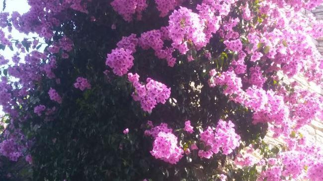 Bouganvilleas para decorar el jardin
