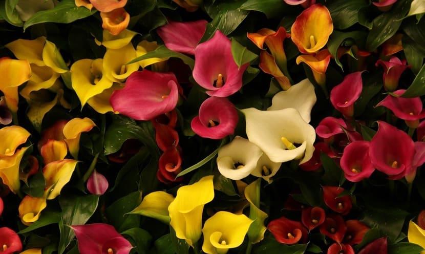 calas, la flor de la belleza