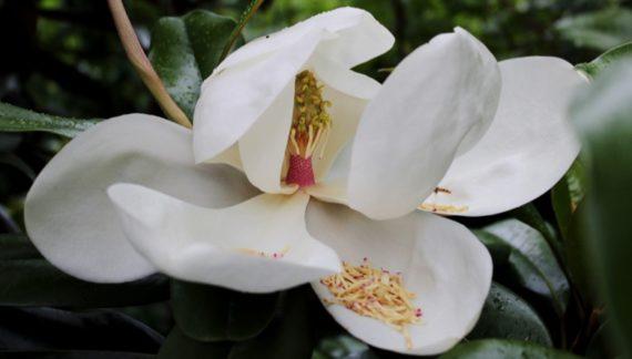 Magnolia grandiflora cuidados arbol