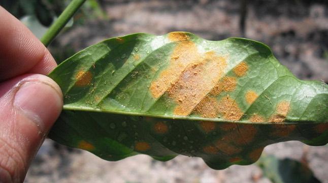 roya hongos plantas enfermedades
