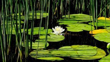 plantas acuaticas para cultivar en estanques