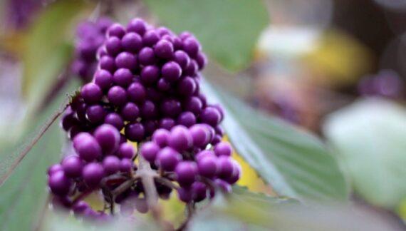 Callicarpa bodinieri arbusto otonal