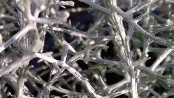 Leucophyta brownii- cuidados arbusto plateado