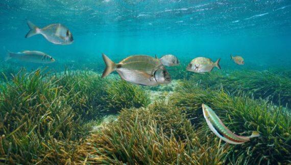 posidonia oceanica planta acuatica