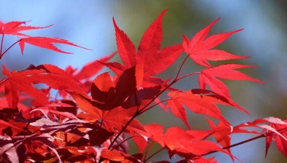 arce japones cuidados y floracion del arbol