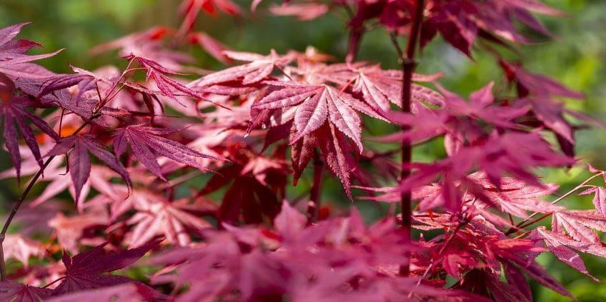 arce japones o acer palmatum