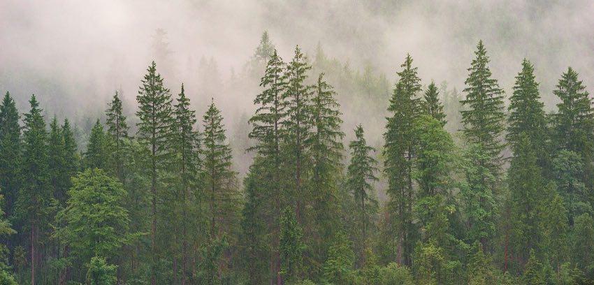 bosque boreal de coniferas